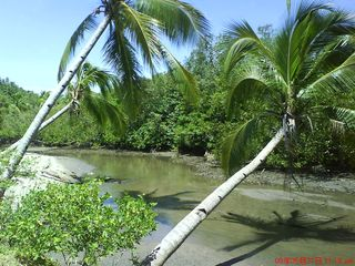 ~♥~ I wonder if most coconut trees here likes to sway?